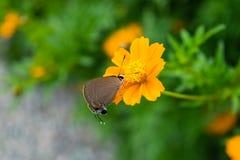 Flor anaranjada del cosmos con los insectos Fotos de archivo