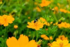Flor anaranjada del cosmos con los insectos Imagen de archivo libre de regalías