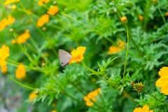 Flor anaranjada del cosmos con los insectos Imagenes de archivo