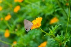 Flor anaranjada del cosmos con los insectos Fotos de archivo libres de regalías