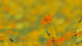 Flor anaranjada del cosmos en campo almacen de metraje de vídeo