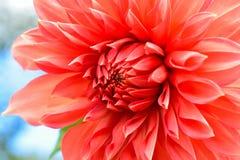Flor anaranjada del crisantemo Imágenes de archivo libres de regalías