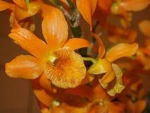 Flor anaranjada del dendrobium Imagenes de archivo
