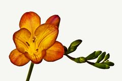 Flor anaranjada del freesia Fotografía de archivo libre de regalías