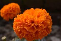 Flor anaranjada del genda Fotografía de archivo libre de regalías