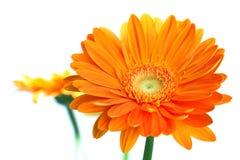 Flor anaranjada del gerbera Fotografía de archivo