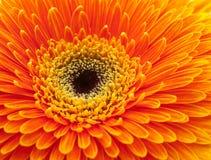 Flor anaranjada del gerbera Fotos de archivo libres de regalías