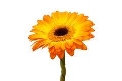 Flor anaranjada del gerbera. Fotografía de archivo libre de regalías