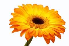 Flor anaranjada del gerbera. fotos de archivo