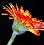 Flor anaranjada del gerbera Imagenes de archivo