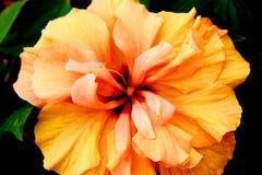 Flor anaranjada del hibisco Imagen de archivo