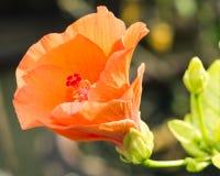 Flor anaranjada del hibisco Imagenes de archivo