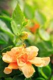 Flor anaranjada del hibisco Fotos de archivo