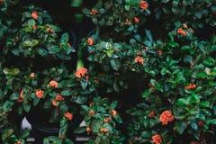 flor anaranjada del ixora en el jardín por mañana imagen para la naturaleza, ornam Fotografía de archivo