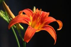 Flor anaranjada del lirio Imagen de archivo