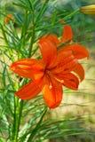 Flor anaranjada del lirio fotos de archivo libres de regalías