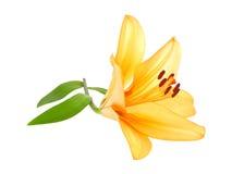 Flor anaranjada del lirio imágenes de archivo libres de regalías