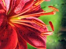 Flor anaranjada del lirio Fotos de archivo