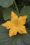 Flor anaranjada del melón (melo del Cucumis) Foto de archivo libre de regalías