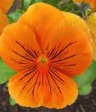 Flor anaranjada del pensamiento Fotografía de archivo
