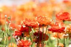 Flor anaranjada del ranúnculo Imagen de archivo