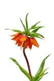 Flor anaranjada del resorte aislada sobre blanco Fotografía de archivo