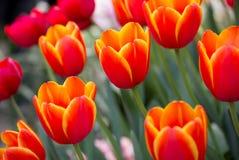 Flor anaranjada del tulipán fotos de archivo