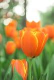 Flor anaranjada del tulipán Foto de archivo