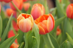 Flor anaranjada del tulipán Imagen de archivo