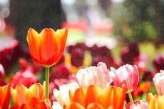 Flor anaranjada del tulipán en el campo colorido del tulipán con la niebla del agua Foto de archivo libre de regalías