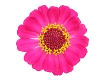 Flor anaranjada del zinnia Fotografía de archivo libre de regalías