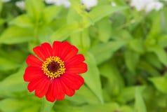 Flor anaranjada del zinnia Fotografía de archivo