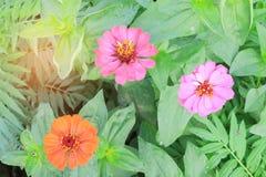 Flor anaranjada del zinnia Fotos de archivo libres de regalías