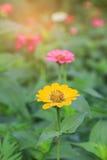 Flor anaranjada del zinnia Fotos de archivo