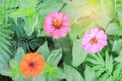 Flor anaranjada del zinnia Imagen de archivo