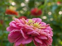 Flor anaranjada del zinnia Imágenes de archivo libres de regalías