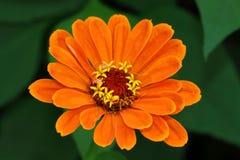 Flor anaranjada del Zinnia con algunos pétalos Foto de archivo libre de regalías