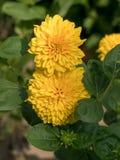Flor anaranjada del zinnia en el jardín del verano Primer fotografía de archivo