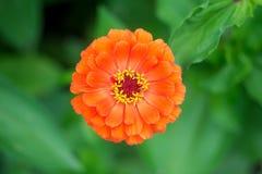 Flor anaranjada del zinnia en el jardín en un fondo de hojas verdes fotos de archivo