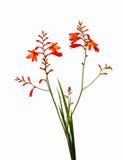Flor anaranjada en blanco imagen de archivo