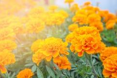 Flor anaranjada en el jardín para el día santo y el día feliz Imagen de archivo