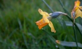 Flor anaranjada en hierba Foto de archivo