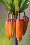 Flor anaranjada exótica Imágenes de archivo libres de regalías