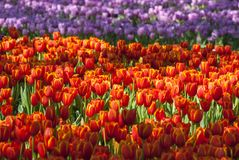 Flor anaranjada hermosa de los tulipanes en fondo de la naturaleza imagenes de archivo
