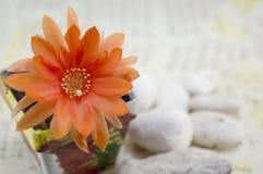 Flor anaranjada hermosa del cactus Fotos de archivo