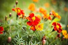 Flor anaranjada hermosa, maravillas Imagen de archivo
