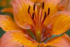Flor anaranjada macra hermosa del lirio en fondo verde Auratum del Lilium Flor grande Fotos de archivo