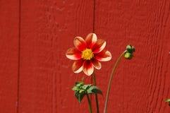 Flor anaranjada por el granero Foto de archivo libre de regalías