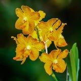 Flor anaranjada Vanda de la orquídea Imagen de archivo libre de regalías