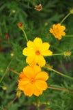 Flor anaranjada y amarilla Fotografía de archivo